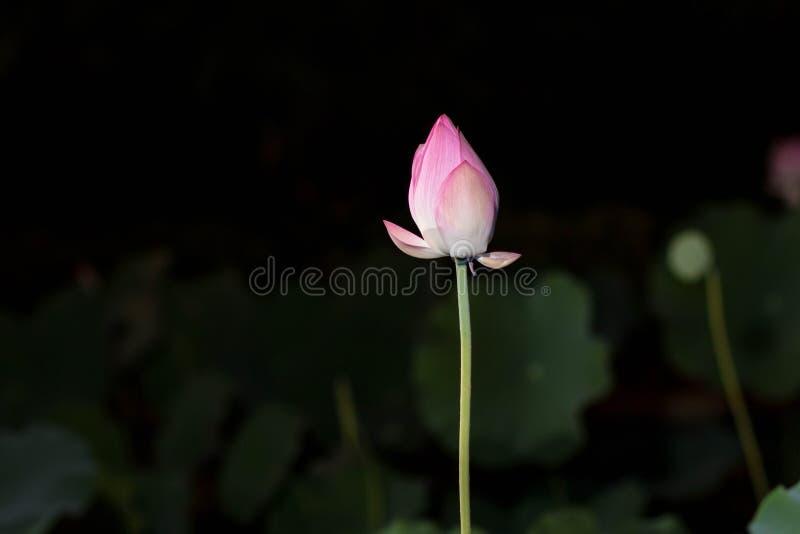 Lotus-bloemenbloei in het nachtpark stock fotografie