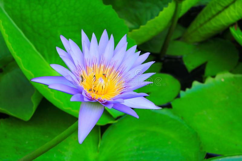 Lotus-bloempurple of het water en de bij zogen lilly nectar in stuifmeel sluit omhoog mooi in aard royalty-vrije stock fotografie
