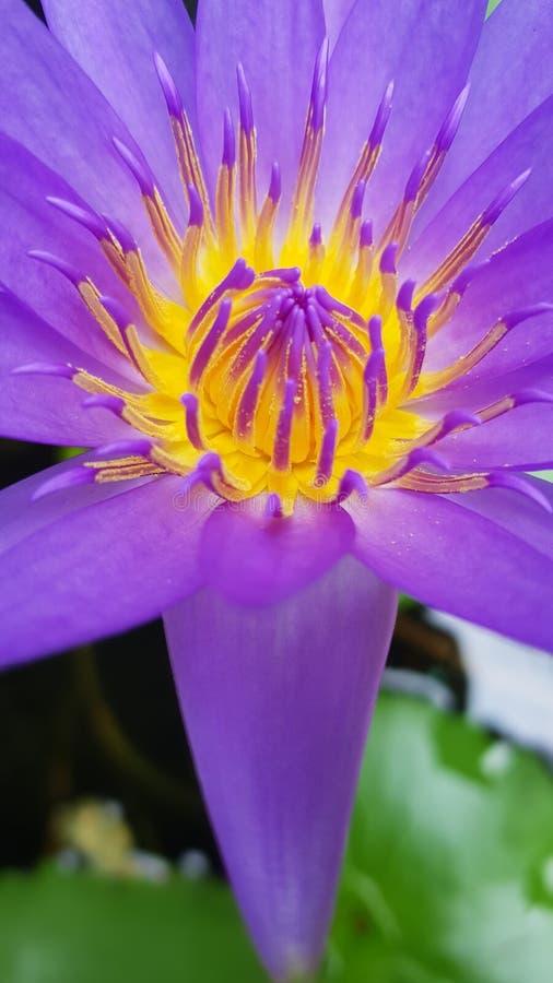 Lotus-bloempurple stock fotografie