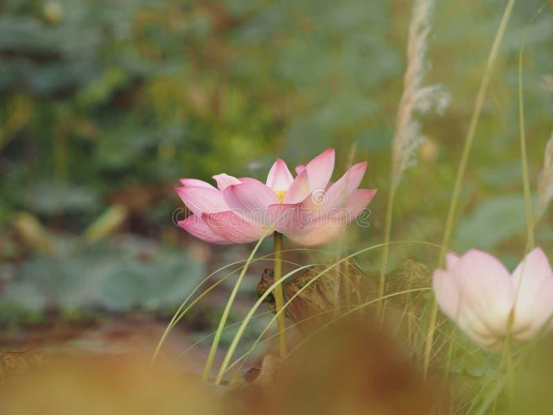 Lotus-bloesem in vijver Roze Bloem mooi in aard royalty-vrije stock foto's