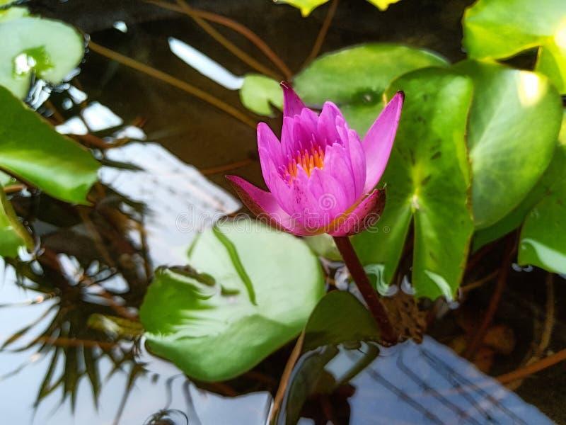Lotus blomma i badet royaltyfria bilder