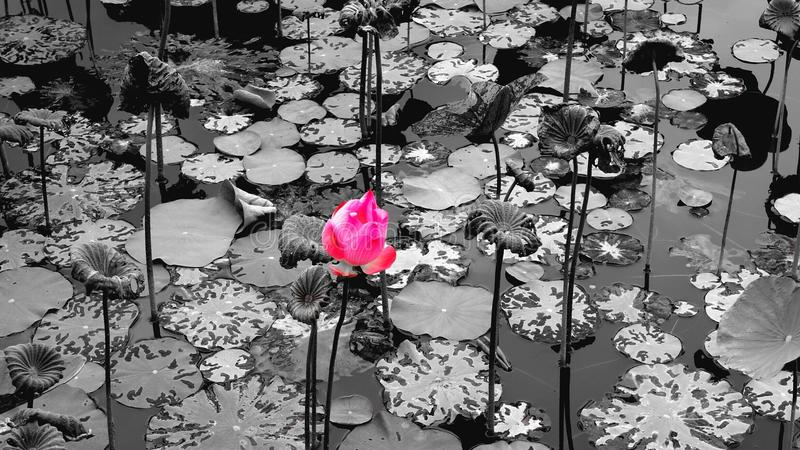Lotus blomma i lagun royaltyfria foton