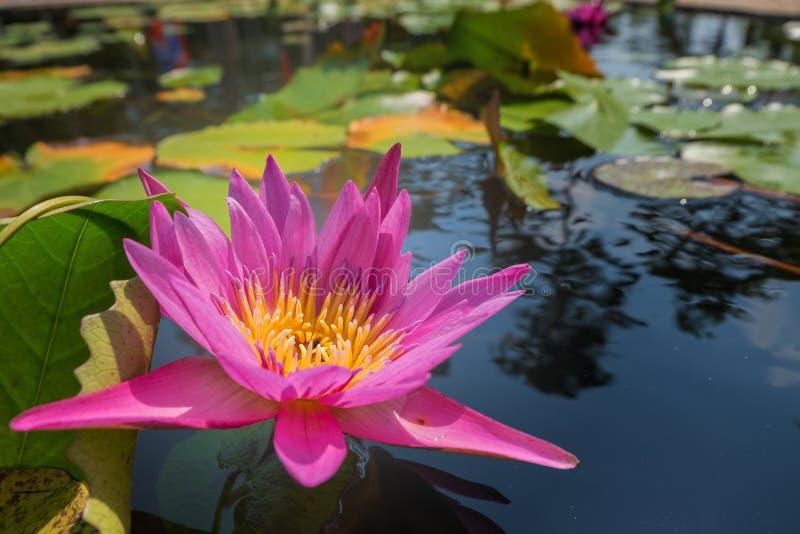Lotus blomma i rosa purpurfärgad violett färg bikryp i pollen med gräsplansidor i naturvattendammet slut upp, ljusa orbs arkivfoton