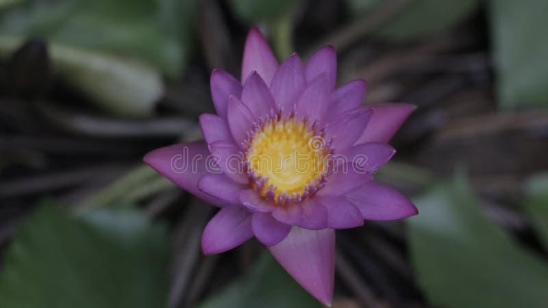 Lotus blomma i vatten arkivfoto