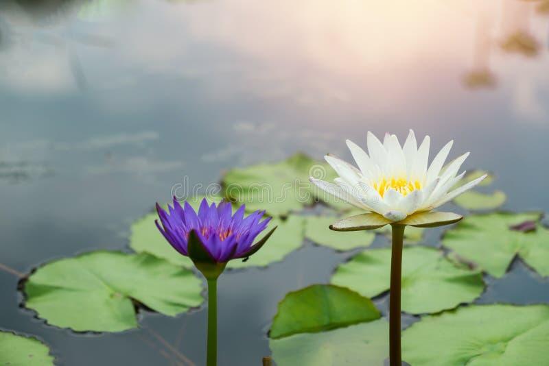 Lotus blomma med solsken royaltyfria foton