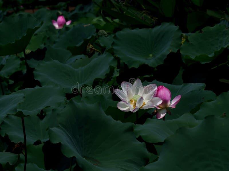 Lotus blomma med svart gr?n bladbakgrund royaltyfri bild