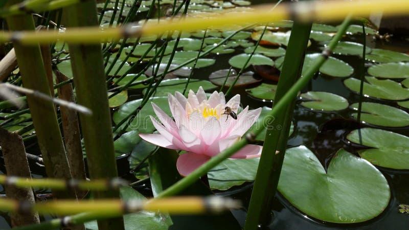 Lotus blomma/Nelumbonucifera royaltyfri foto