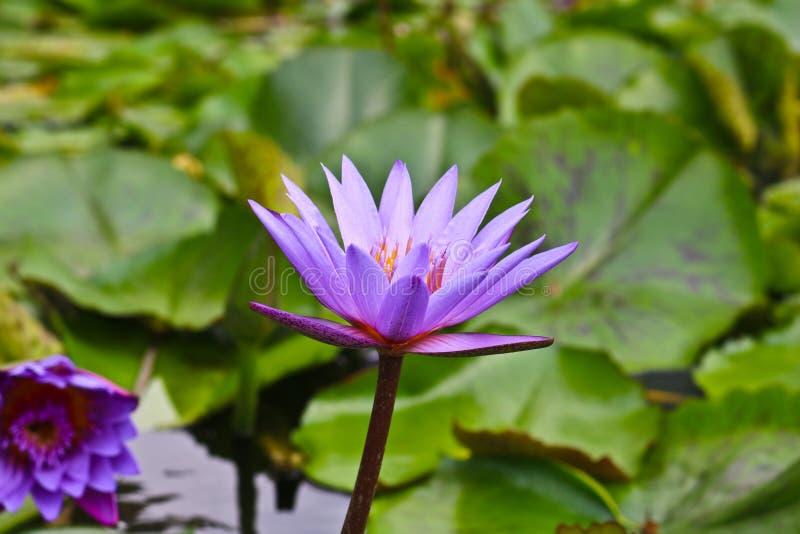 Lotus blomma p? ett tr?sk royaltyfria foton