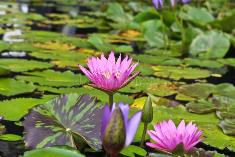 Lotus blomma p? ett tr?sk arkivbild