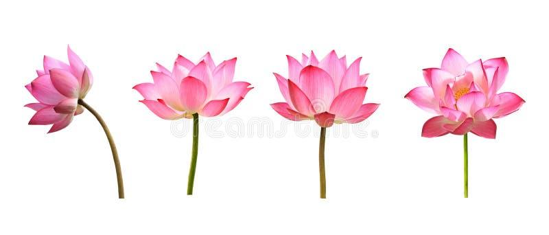 Lotus blomma p? vit bakgrund fotografering för bildbyråer