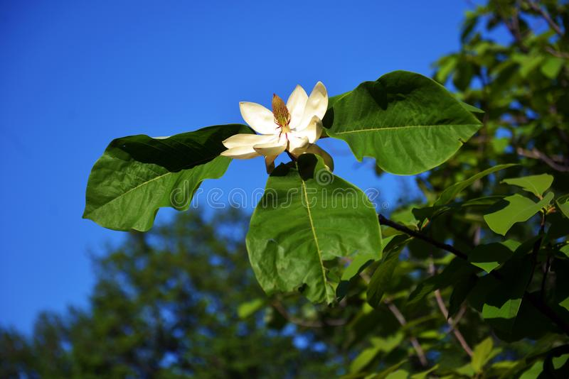 Lotus-blommad magnoliablommacloseup arkivbilder