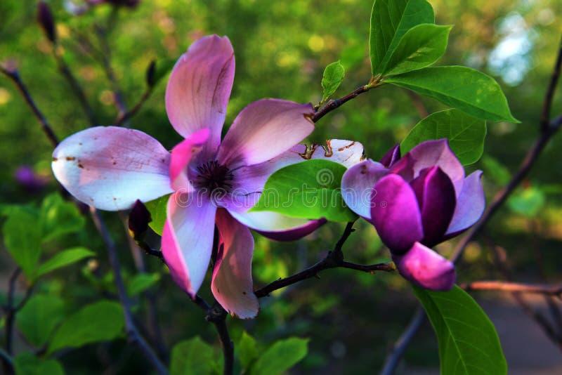 Lotus-blommad magnoliablommacloseup, härlig vit med rosa färger arkivfoto