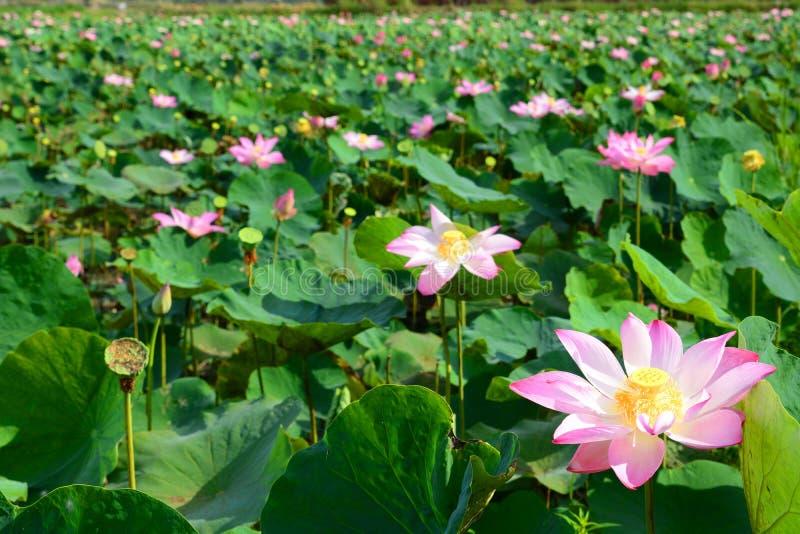 Lotus blommafält Långa Xuyen vietnam arkivbilder