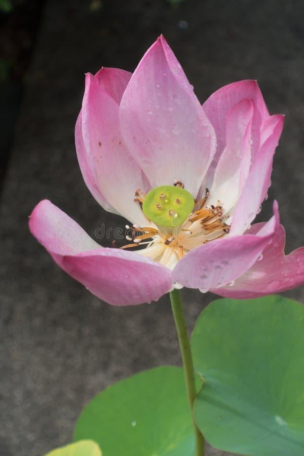 Lotus-blomman blommar med dagg i mormningen fotografering för bildbyråer