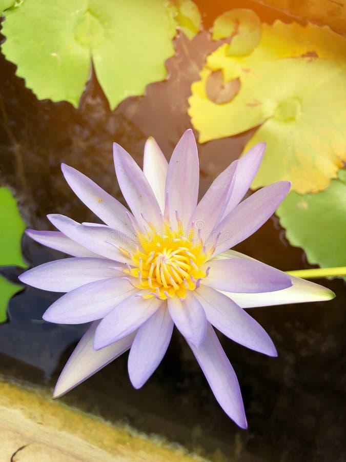 Lotus blommor blommar i morgonen royaltyfri fotografi
