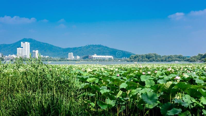 Lotus blommor blommar i xuanwusjön parkerar arkivfoto