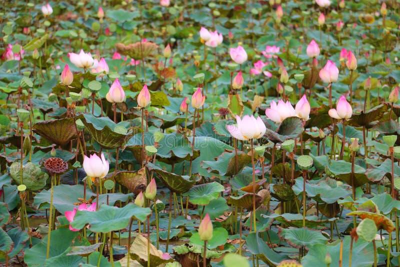 Lotus blommor, Cambodja, Asien royaltyfri bild