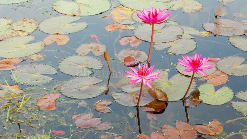 Lotus blommor i dammet Thailand fotografering för bildbyråer