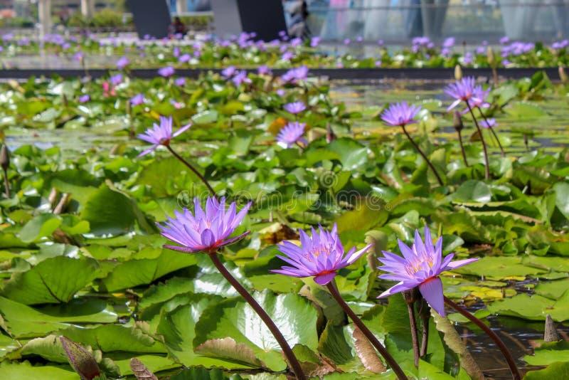 Lotus blommor i i stadens centrum Singapore royaltyfria foton