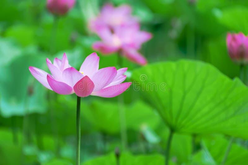 Lotus blomning royaltyfri fotografi