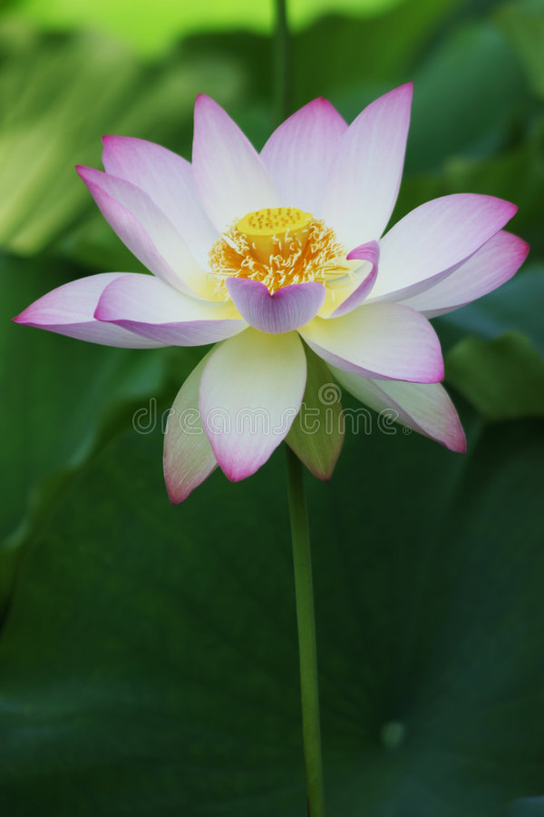 Download Lotus bloom stock photo. Image of flower, petite, bloom - 166544