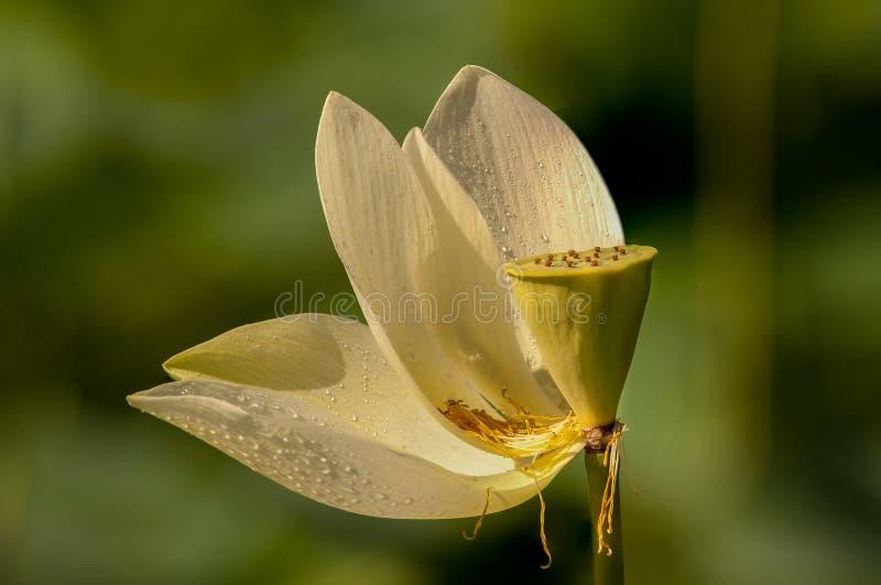 Lotus Bloom royalty free stock image