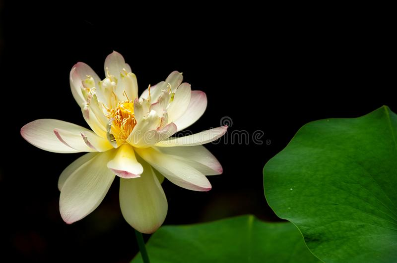 A lotus bloom against a black background with green petals. In a peaceful and abstract composition stock images