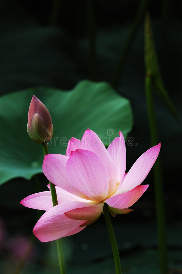 Lotus bloom and bud royalty free stock photos
