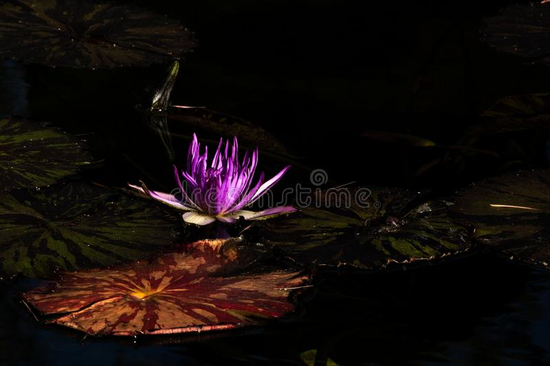Lotus bloom floating in water, purple magenta blossom nested among lovely round lily pads calm serene background, meditation stock image