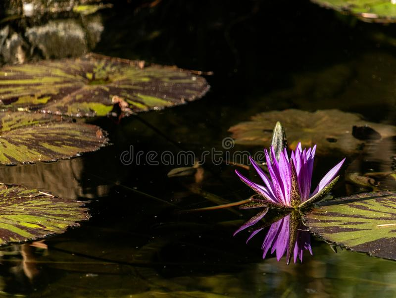 Lotus bloom floating in water, purple magenta blossom reflected in pond, calm serene background for meditation wellness harmony sp. Lotus bloom floating in water royalty free stock photo