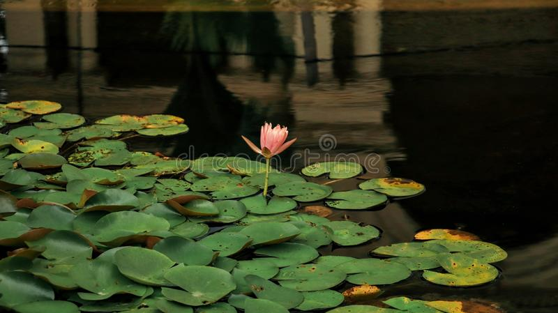Lotus blooming in a pond stock images