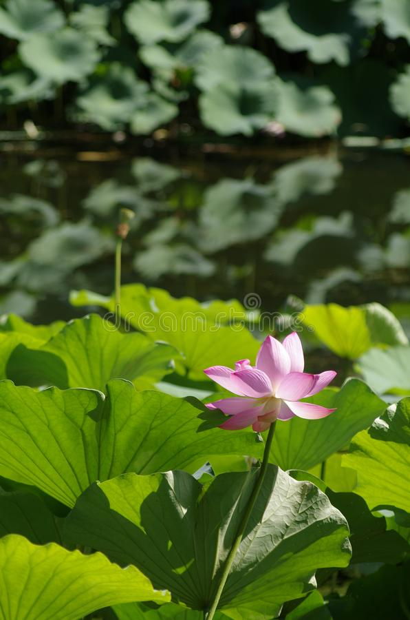 Lotus blooming in summer stock images