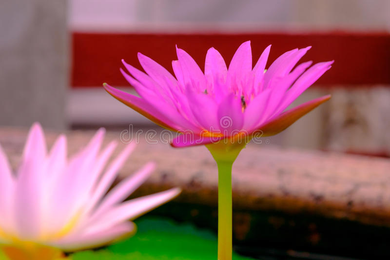 Lotus is blooming. Water Lilly. Beautiful purple lotus flower in the pond. Lotus is blooming. Water Lilly stock photo