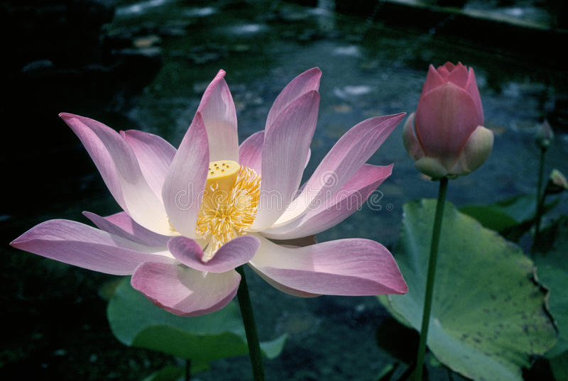 Download Lotus blossom stock image. Image of landscape, indonesia - 17945619