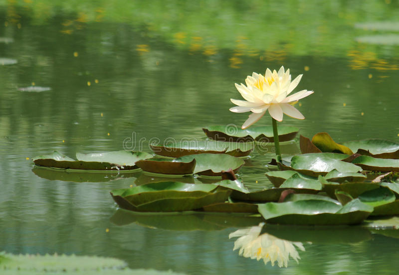 Lotus blossoms royalty free stock photography