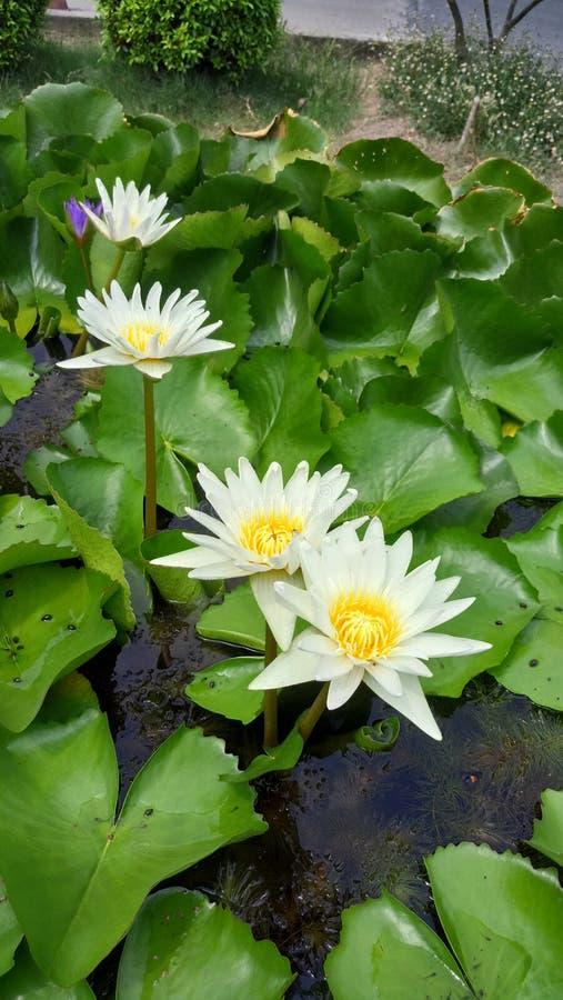 Lotus Blossoms royaltyfri fotografi