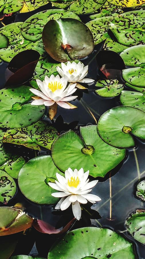 Lotus Blossoms stock photography