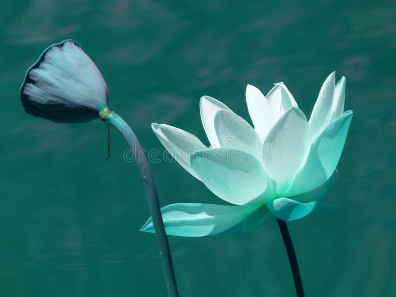 Lotus blu immagini stock