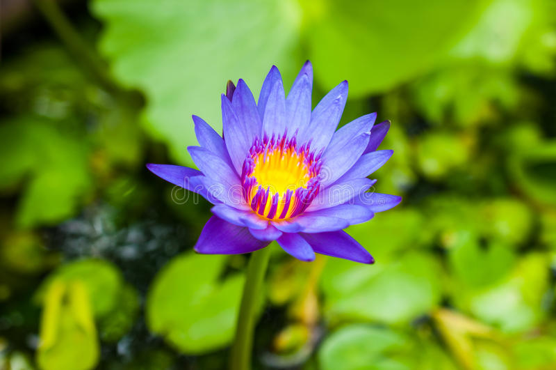 Lotus blu fotografie stock