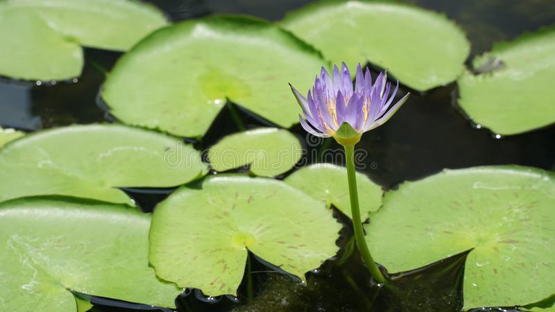 Lotus-Blume in der purpurroten Farbe lizenzfreie stockfotografie
