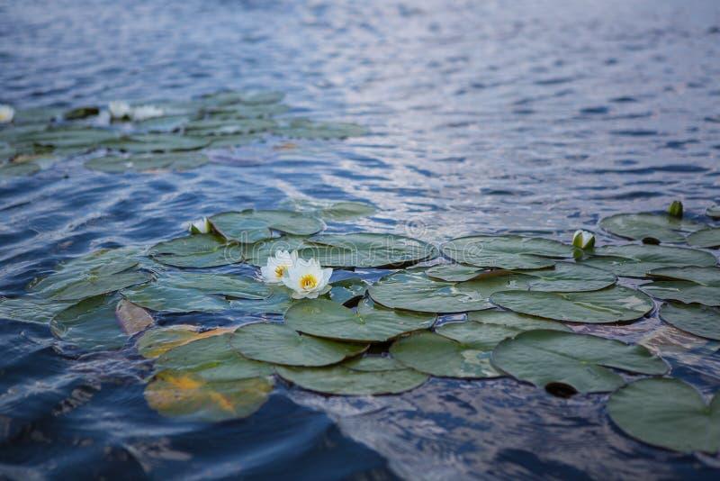 Lotus-Blume, die auf einem See blüht lizenzfreie stockfotos