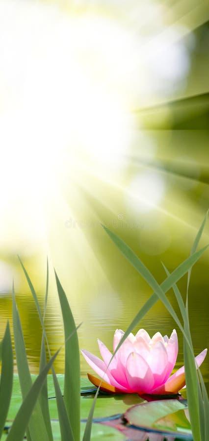 Lotus-Blume gegen die Sonne stockbilder