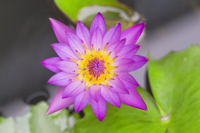 Lotus-Blume lilly purpurrot auf Wasser Beschneidungspfad eingeschlossen stockbilder