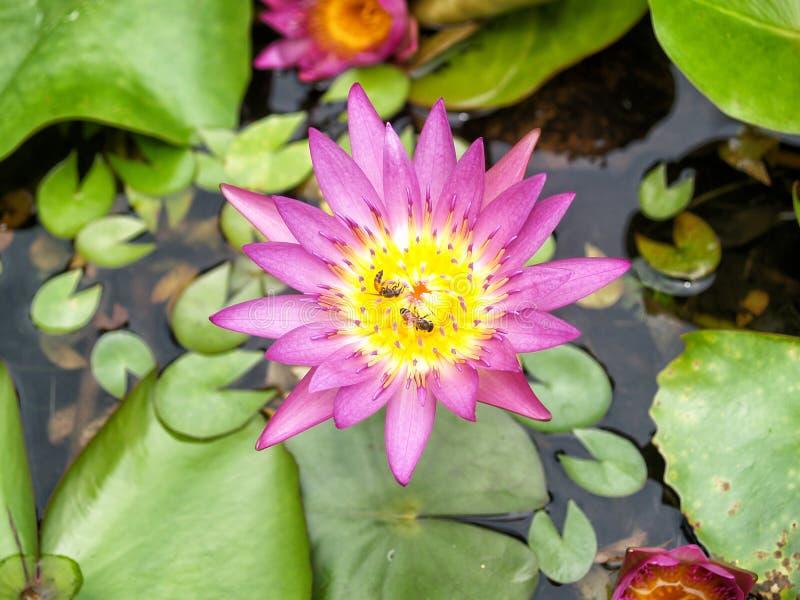 Lotus-Blume und -biene lizenzfreie stockfotos