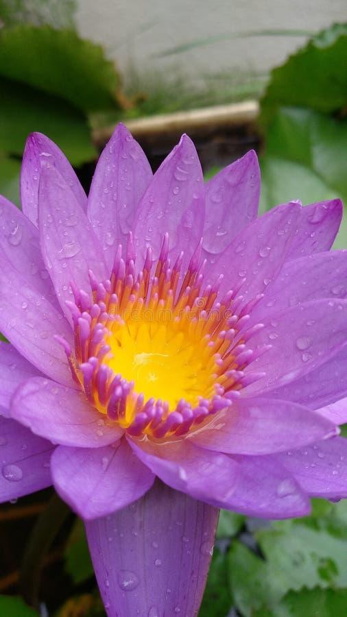Lotus-Blume voilet Hinterhof-Naturschönheit lizenzfreies stockbild