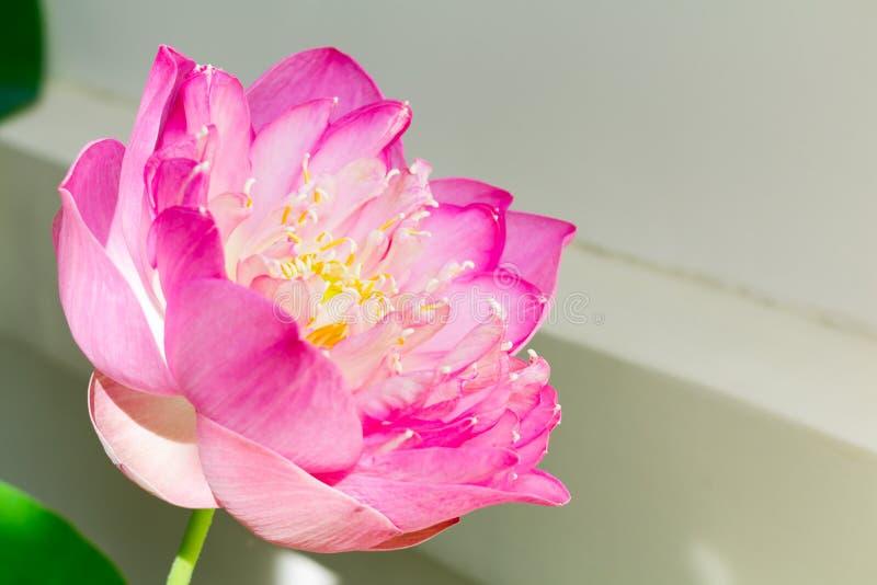 Lotus-Blume in voller Blüte, Religion symbolisierend, Buddhismus, puri lizenzfreie stockfotos