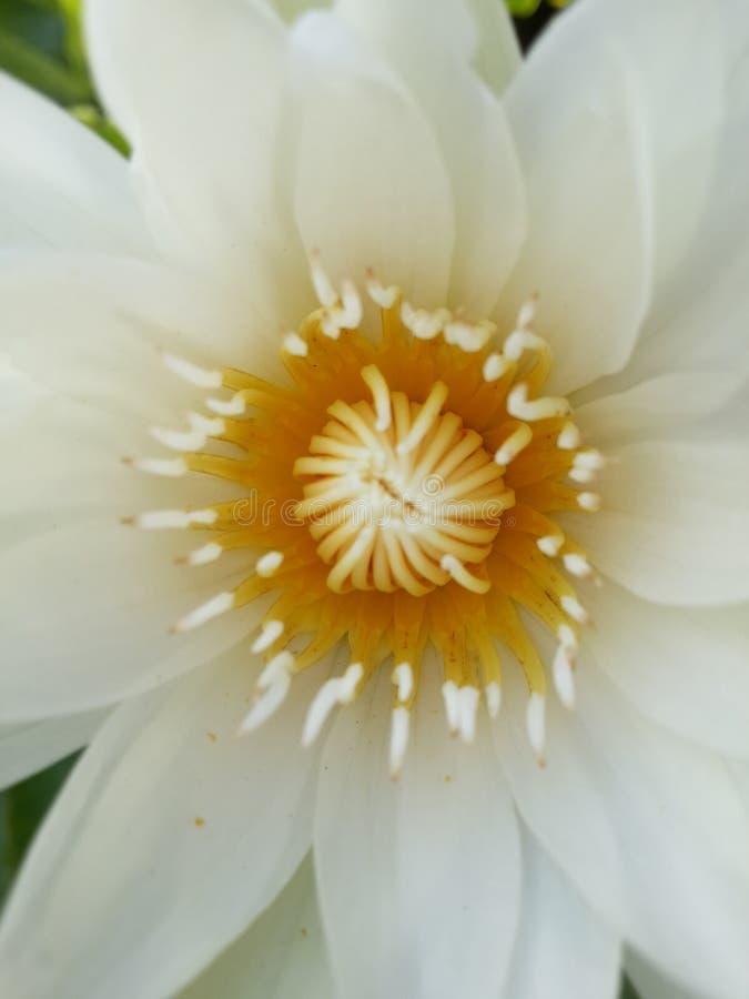 Lotus-Blume whiteflower bueatiful stockfotografie