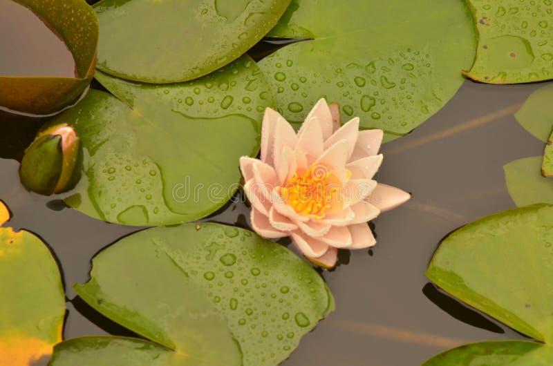 Lotus-Blumen, die unter Blättern in lilypad Teich blühen lizenzfreie stockfotos