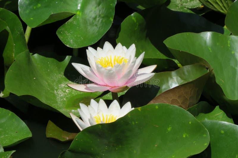 Lotus-Blumen in einem Teich stockbilder