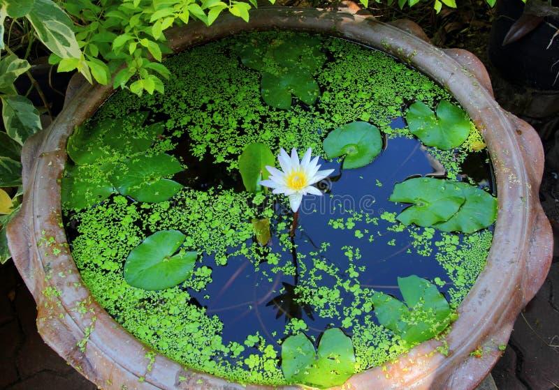Lotus Bonsai fotografering för bildbyråer